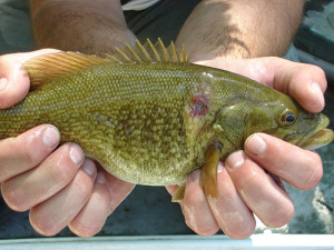 Smallmouth Bass with Lesion